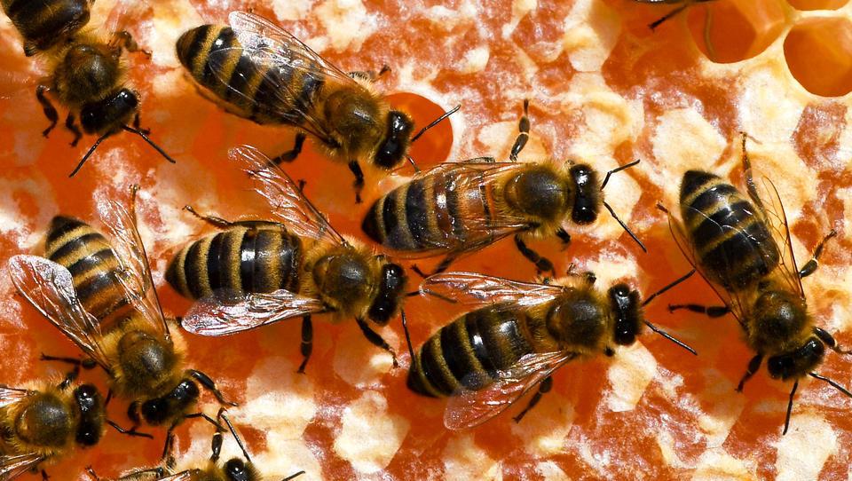 Europa steuert auf eine Bienen-Krise zu