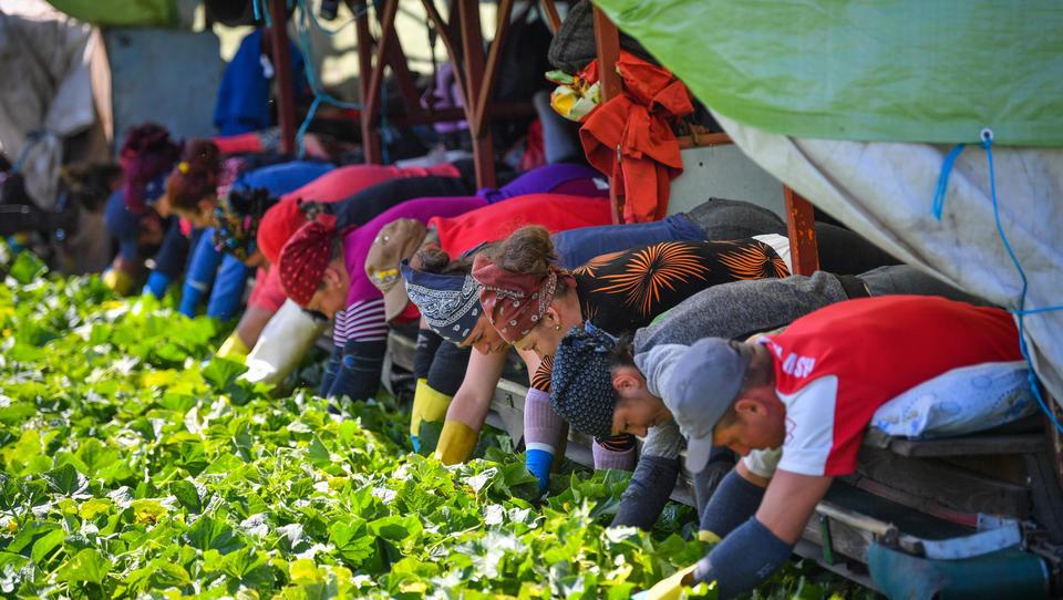 Globaler Nahrungsmittel-Handel beeinträchtigt: Merkel will Asylbewerber und Studenten zur Feldarbeit heranziehen