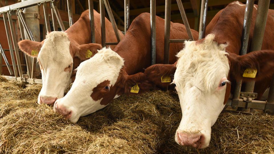Trotz Corona: China importiert massenweise Rinder-Sperma