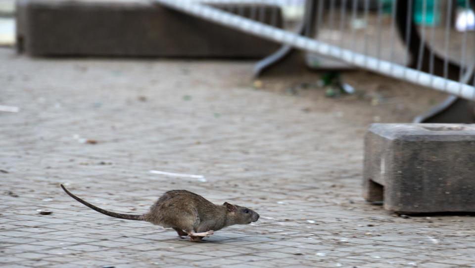 In China ist nun auch das Hanta-Virus ausgebrochen, erster Toter in Yunnan