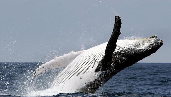 Wale an der kroatischen Adria-Küste gesichtet
