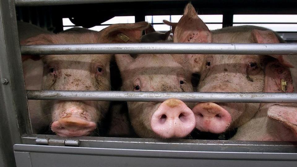 Brandenburg setzt alle Tiertransporte nach Russland aus