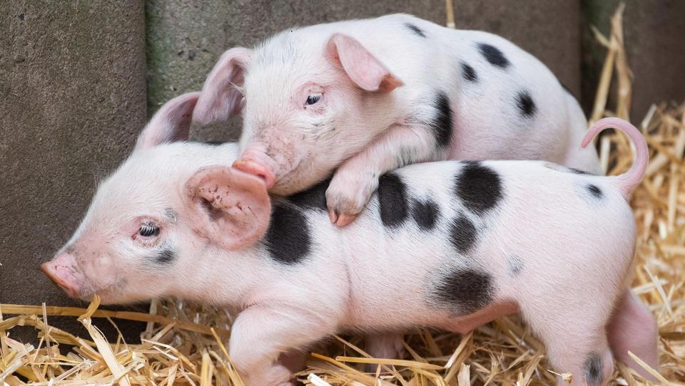 Afrikanische Schweinepest erreicht Deutschland: Züchter befürchten schwere wirtschaftliche Schäden