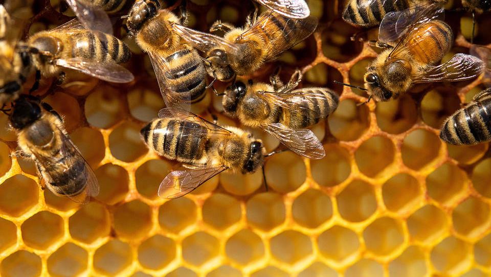Nächste Plage? Hornissen bedrohen nun Bienen-Population in den USA