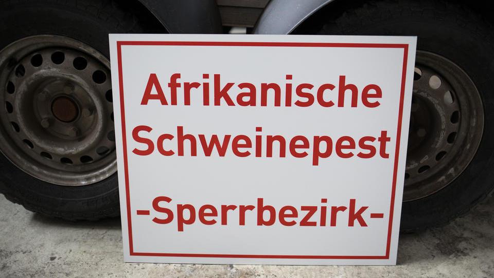 Afrikanische Schweinepest in Deutschland - wie lange bleibt sie?