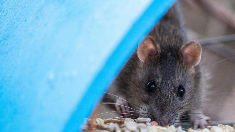 Erste Übertragung des Seoulvirus von Tier auf Mensch in Deutschland