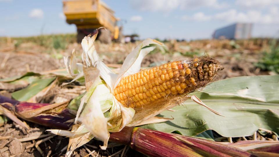 Große Bedenken hinsichtlich der weltweiten Versorgung mit Mais und Soja