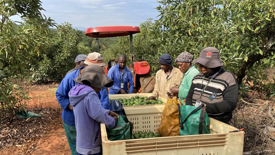 Kampf ums grüne Gold: Die Avocado-Mafia in Südafrika plündert Plantagen leer