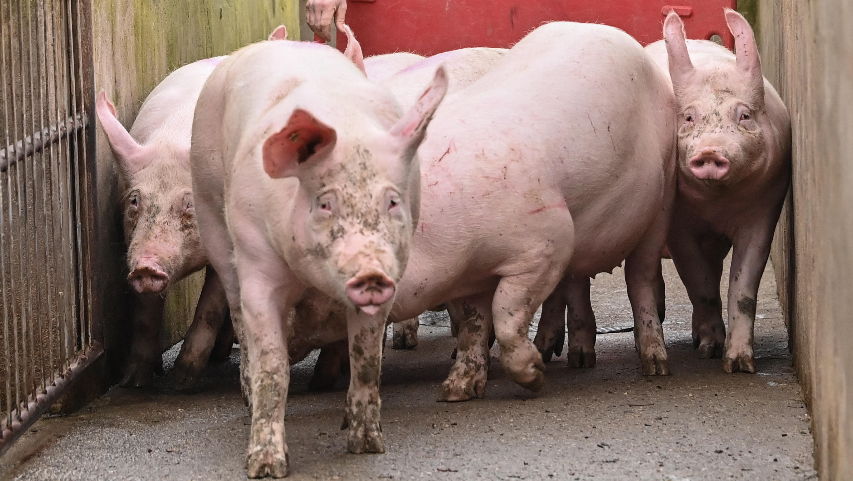 Erstmals Schweinepest bei deutschen Hausschweinen, Bauern fürchten Katastrophe