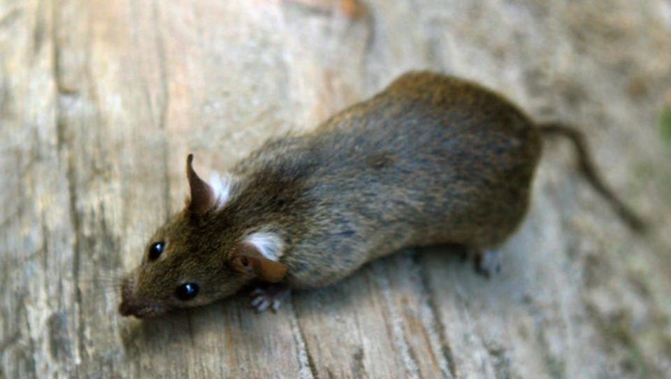 Das millionenschwere Geschäft mit der Rattenplage-Vorsorge