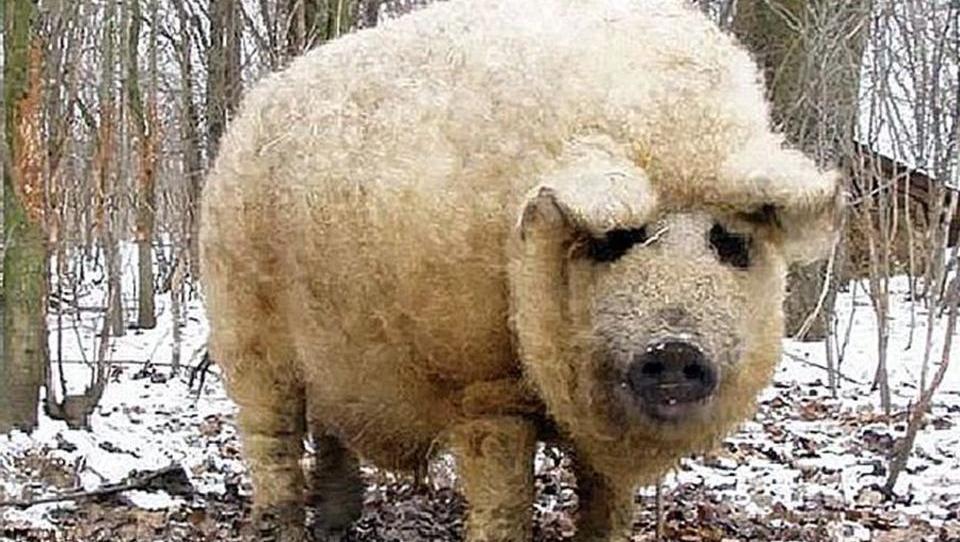 Eine fast ausgestorbene Schweine-Rasse feiert ihr Comeback in Europa