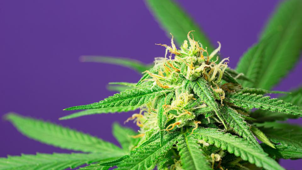 Im Rausch des Booms: Was Anleger über Cannabis-Aktien wissen sollten